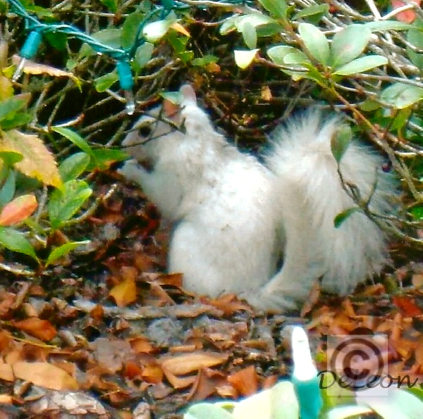 White squirel, he was all over the village.